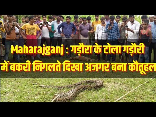 Maharajganj : गड़ौरा के टोला गड़ौरी में बकरी निगलते दिखा अजगर बना कौतूहल