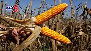 Farmers Concern Over Steep Decrease In Corn Prices | Annapurna | TV5 News