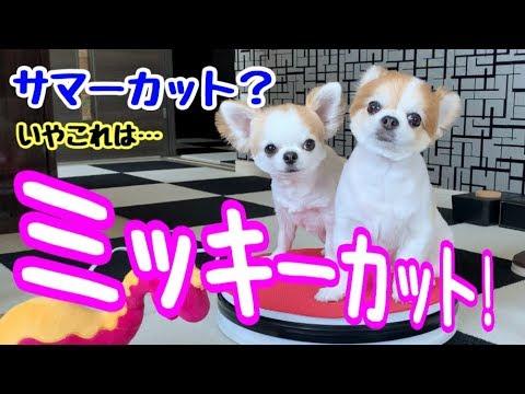 チワワのサマーカットを超えたミッキーカット!【かわいい犬】【chihuahua】【cute dog】【ペット動画】