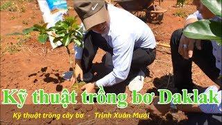 Kỹ thuật trồng Bơ daklak, bơ dẻo, bơ sáp, bơ booth, Chuyện nhà nông Trịnh Xuân Mười | Long Mèo