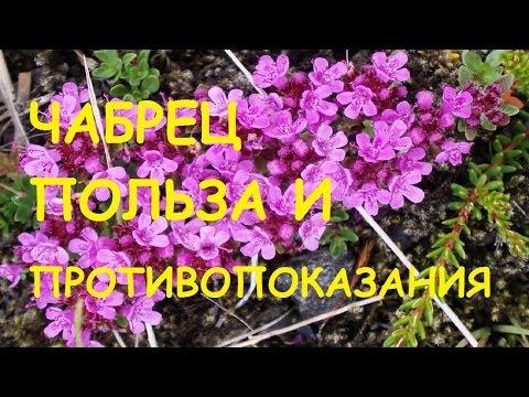 Цикорий растение польза и вред цикория, полезные