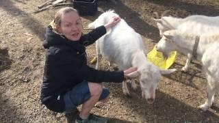 Коза перед окотом. Петля припухла и разгладилась. Налилось вымя. Жизнь в деревне.