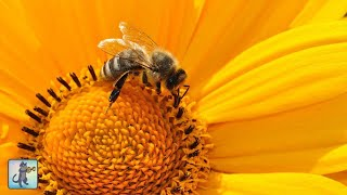 🐝 Beautiful Bumblebees ~ AMAZING NATURE SCENERY on Planet Earth & The Best Relax Music (1080p HD)