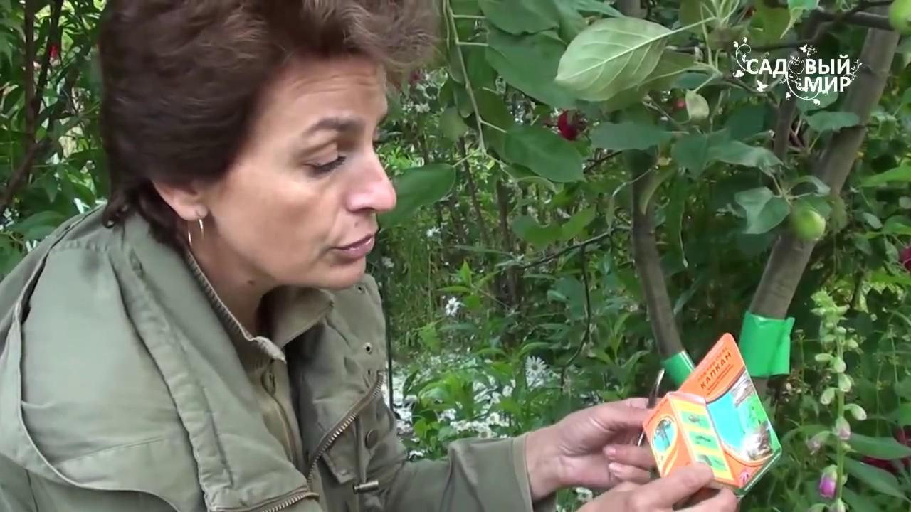 Ловчие пояса для яблонь своими руками фото 583