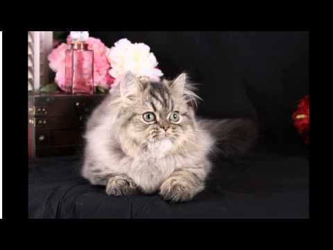 Shaded Golden Tabby Persian Rug Hugger Kitten