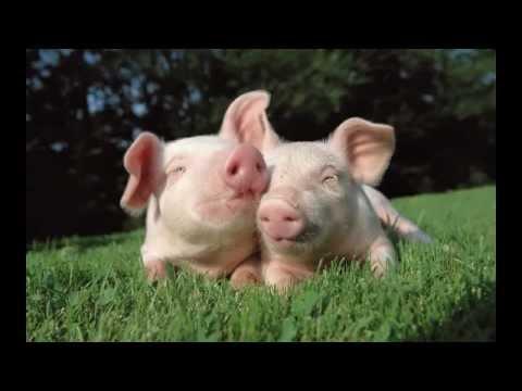 Một số hình ảnh về con lợn (Giúp bé nhận biết con vật)