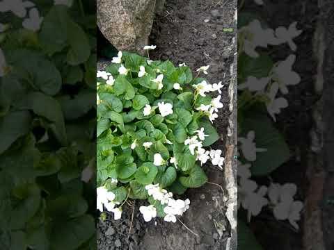 Фиалка садовая,посадка,уход,размножение