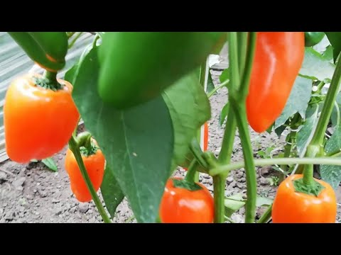Сорт сладкого перца «Оранжевое пламя»   оранжевоепламя   сладкийперец
