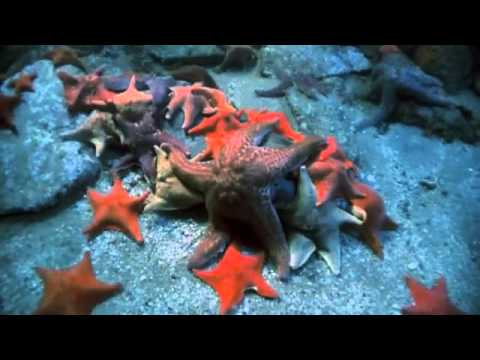 Echinoderms   Sea Star Time lapse   Eating Dead Fish SD