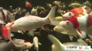Koi Kontor Trittau / Unterwasser Probeaufnahme