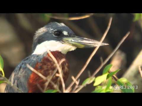 "Ringed Kingfisher   -  ""Martim-pescador-grande""   -  Megaceryle torquata"