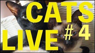 ♯4【猫ライブ】生放送中にねこ動画を撮って投稿しよう📱