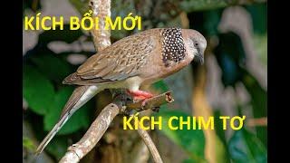 Tiếng chim cu gáy bổi mới nổi (kích chim )