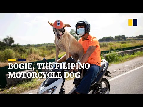 Meet Bogie, the motorcycle dog travelling around the Philippines