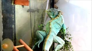 Video Blue Iguana download MP3, 3GP, MP4, WEBM, AVI, FLV September 2017