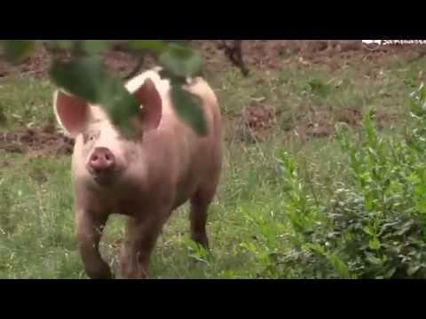la-vida-tranquila-de-los-cerdos-en-santuario-gaia