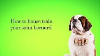 How To House Train Your Saint Bernard | Housetraing Your Saint Bernard