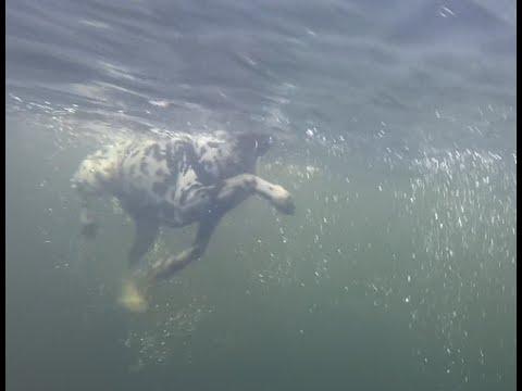 9216f2fd58 Perro con GoPro Hero Dálmata y Husky. Visión HD Bajo el agua! - YouTube