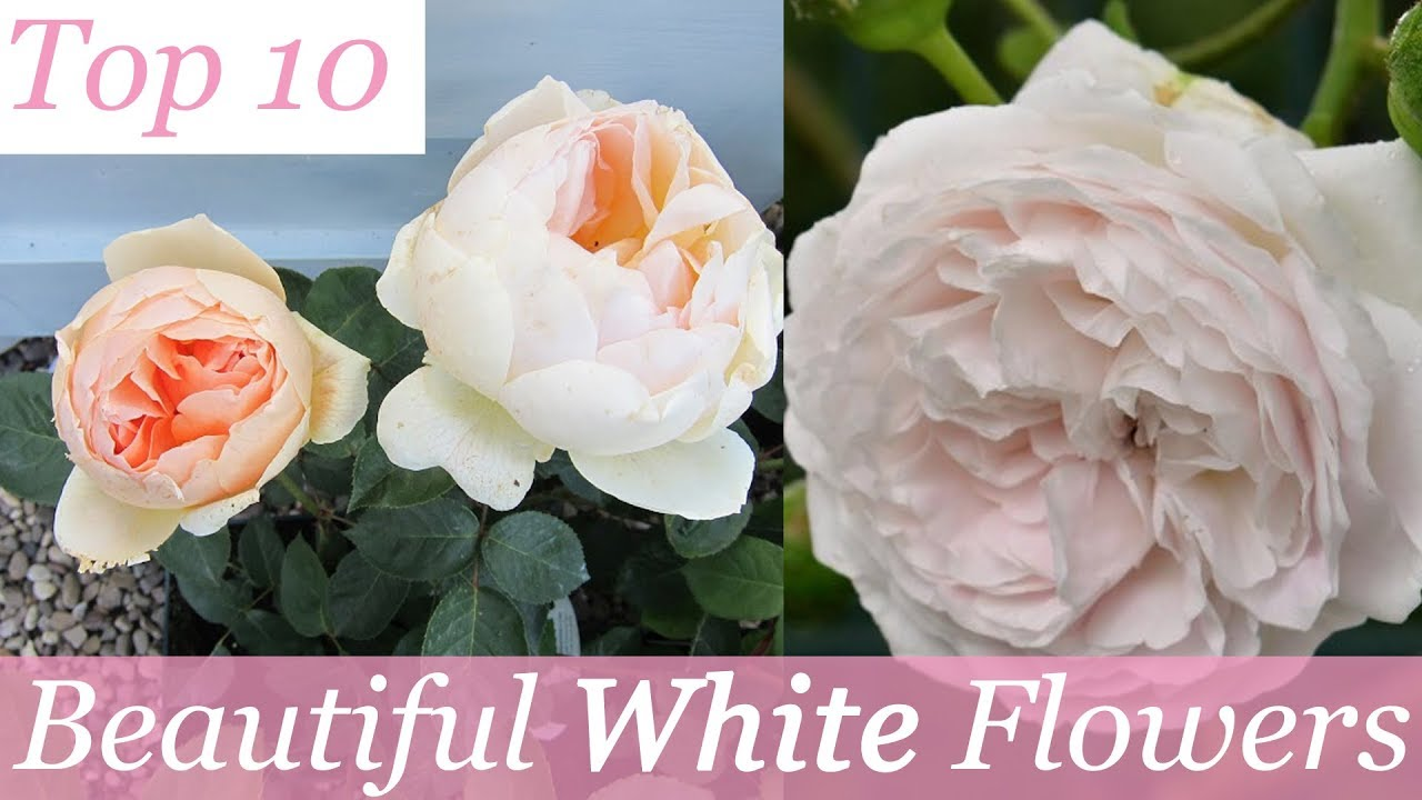 Top 10 Most Beautiful White Flowers Beautiful Flowers Youtube