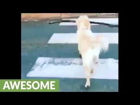 Very smart dog uses the pedestrian crosswalk