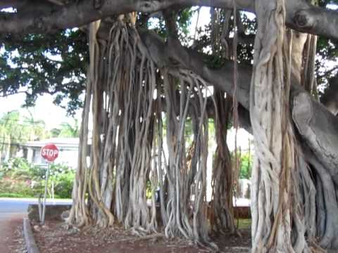 Giant Tropical Banyan Tree Hawaii Disambiguation 2010