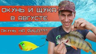 Рыбалка на щуку и окуня в августе Окунь КАБАН взял на хорватское яйцо
