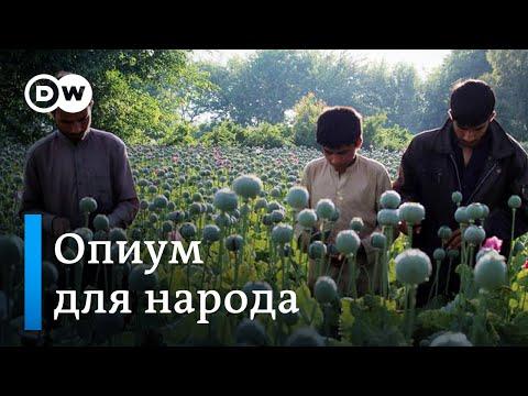 Опиум для народа: в Афганистане собирают урожай мака