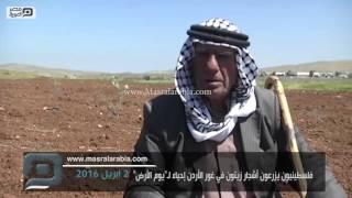 مصر العربية |  فلسطينيون يزرعون أشجار زيتون في غور الأردن إحياء لـ