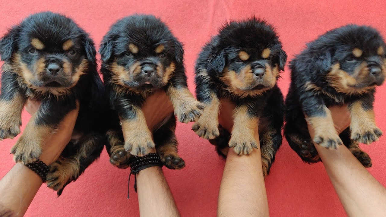 Rottweiler puppies for sale ||  Rottweiler puppy with mom and dad video || Doggyz World