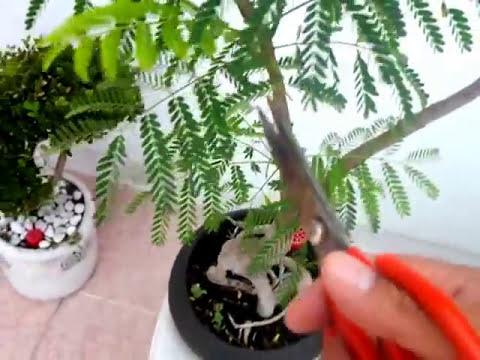 PODA DE HOJAS DE BONSAI TABACHIN O FLAMBOYAN PARA PRODUCIR MICROFILIA (hojas pequeñas)