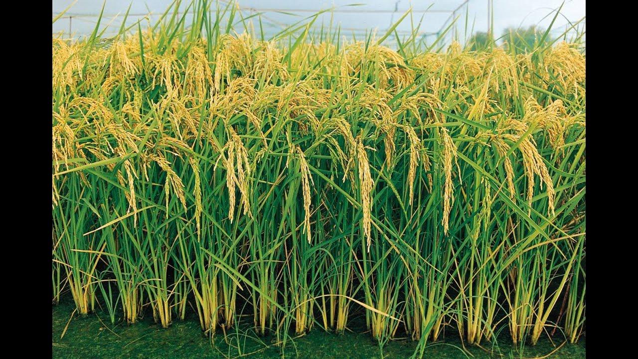 T cnicas de cultivo para evitar p rdidas en la siembra de arroz tvagro por juan gonzalo angel - Como se planta el bambu ...