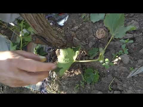 Вопрос: В какое время лучше прививать виноград?