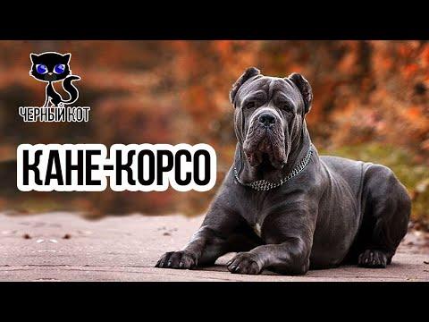 Кане-корсо / Интересные факты о собаках