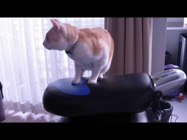ロデオボーイする猫、ちくわ〜The cat which carries out a rodeo