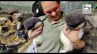 Rockhopper Penguin Chicks Introduced to Colony - Cincinnati Zoo