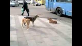 Собаки в центре Житомира
