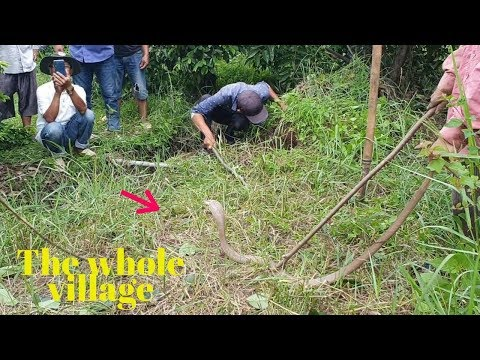 The whole village went to see cobra hunters| Hunting snakes 49