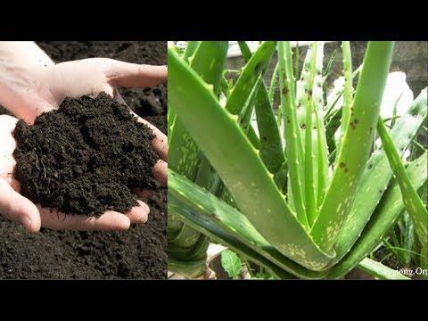 Cách trồng cây Nha Đam nhanh lớn nhiều lá cực dễ bạn không nên bỏ qua
