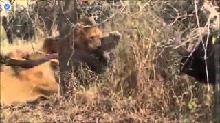 バッファロー対ライオン ライオンはバッファロー攻撃 ライオン狩りバッ...