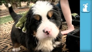 Baby Bernese Mountain Dog Puppy Loves Stuffed Froggy - Puppy Love