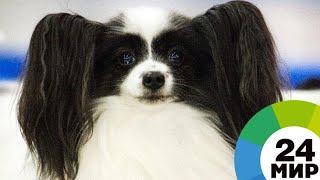 Пушистые психологи: в Домодедове стресс пассажиров снимают собаки - МИР 24