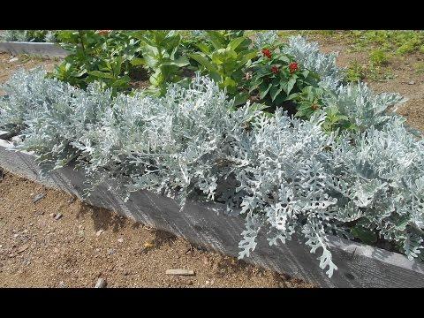 Цинерария: выращивание и уход