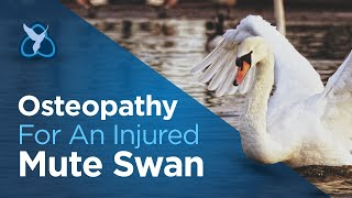 Osteopathy for an injured Swan