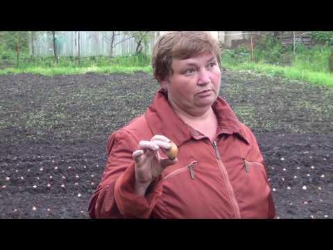 Лук Шалот агротехника-полный цикл от посадки до хранения