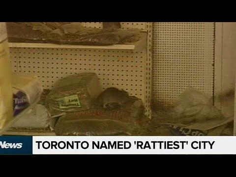 Toronto ranked 'rattiest' city in Ontario