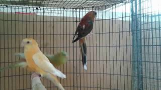 Gorgeous, outstanding and stunning Red rumped Parakeets mutations..!!!