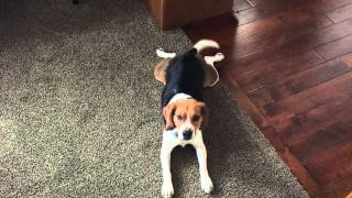 Beagle Tail Workout