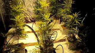 blue dream bud grow day 6 part 2
