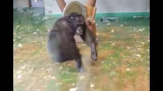 チンパンジーがノリノリで銅鑼みたいなものを叩いてます。人が群がって...