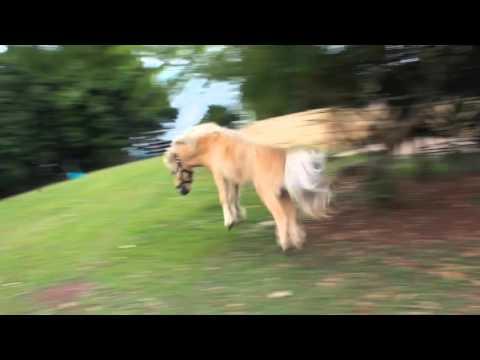 miniature horses going crazy!!